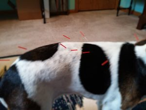 Dog experiencing Pain on Palpation