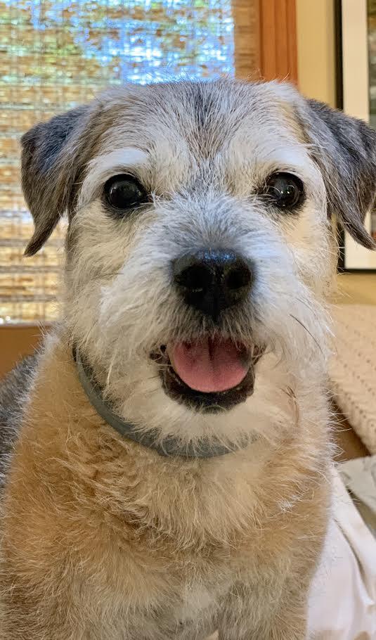 Osteoarthritis in a 15 Year Old Border Terrier