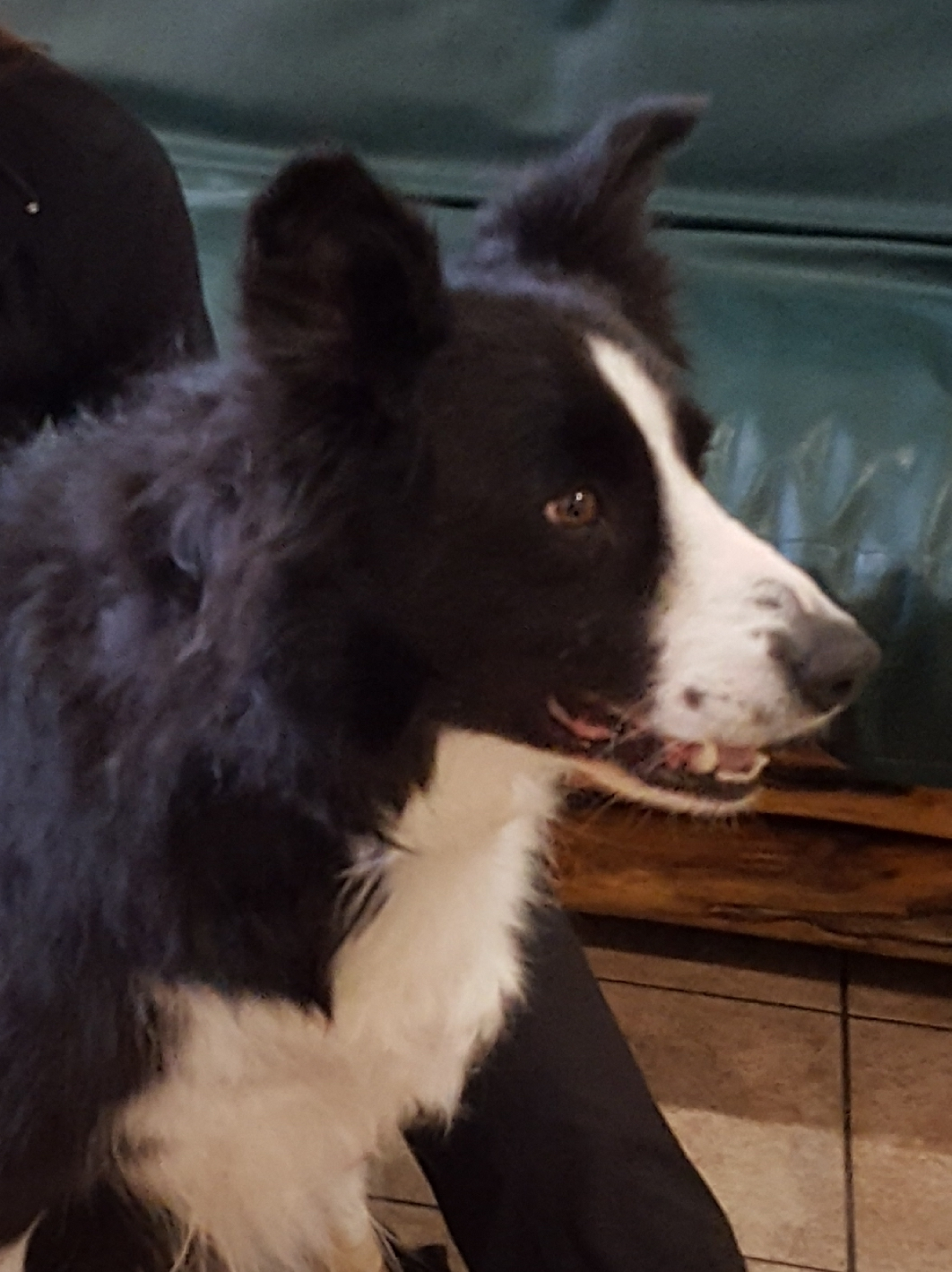 Forelimb Lameness in a 9 Year Old Border Collie