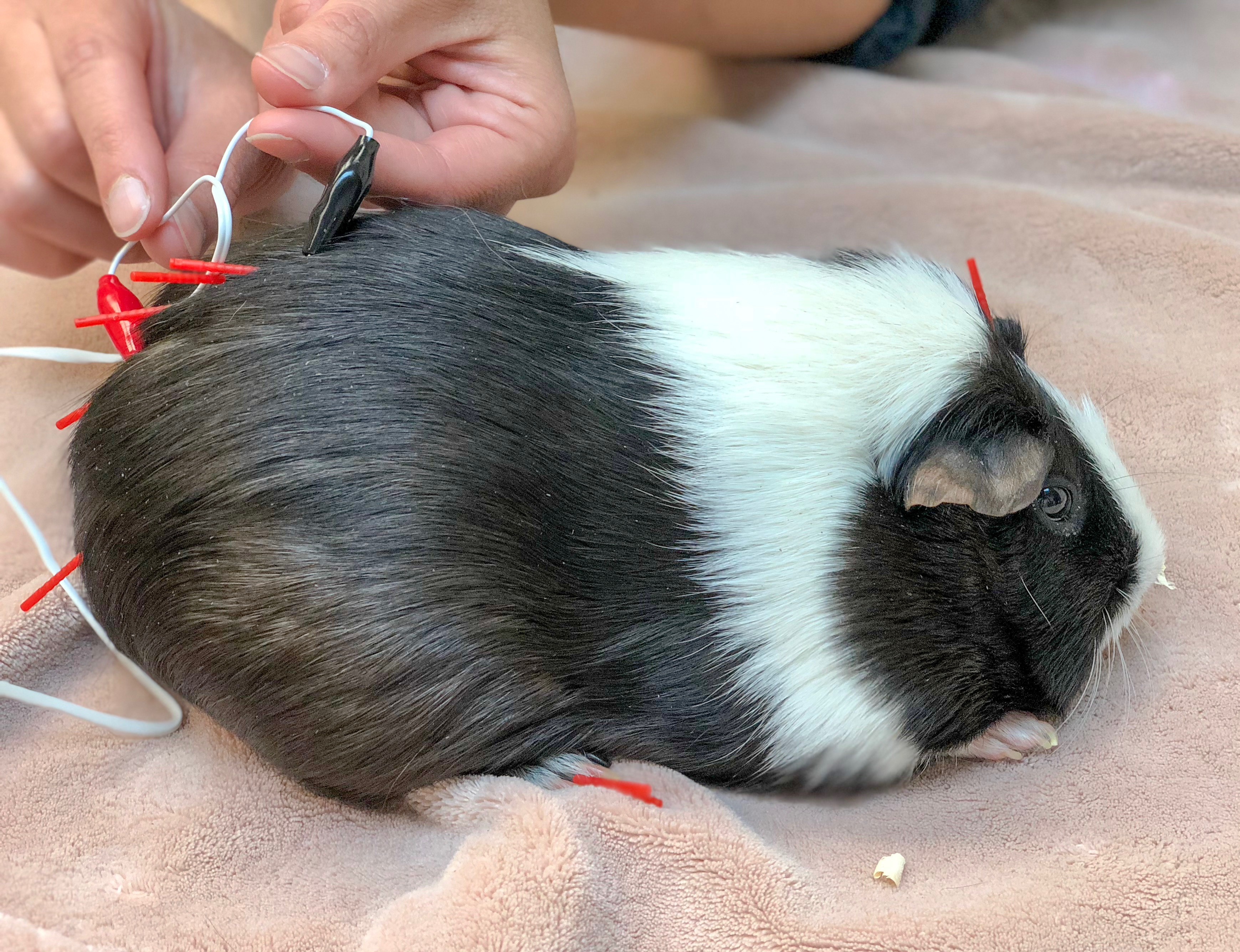 Paraplegia and Bladder Dysfunction in a Guinea Pig