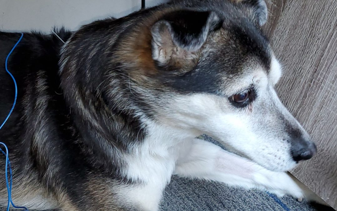Cognitive Dysfunction and IVDD in a 14-Year-Old Husky