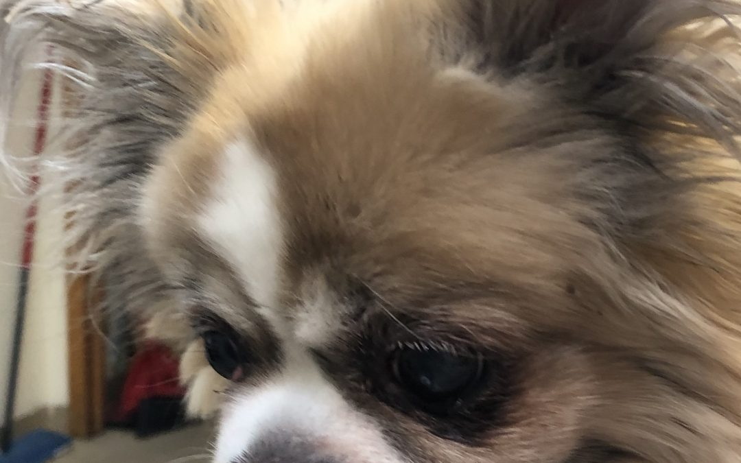 DJD and Kyphosis of the Thoracolumbar Spine in a 13 Year Old Tibetan Spaniel