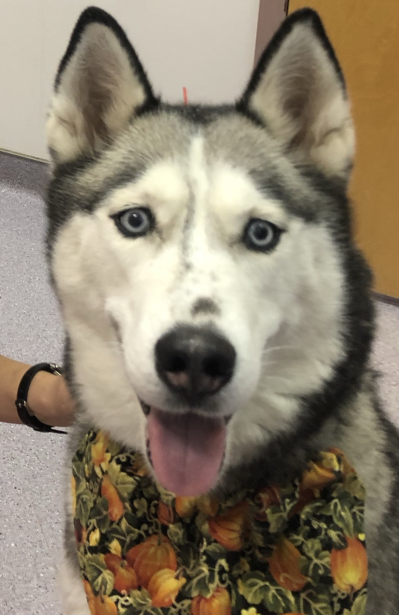 Behavioral Problems in a 6 year Old Siberian Husky
