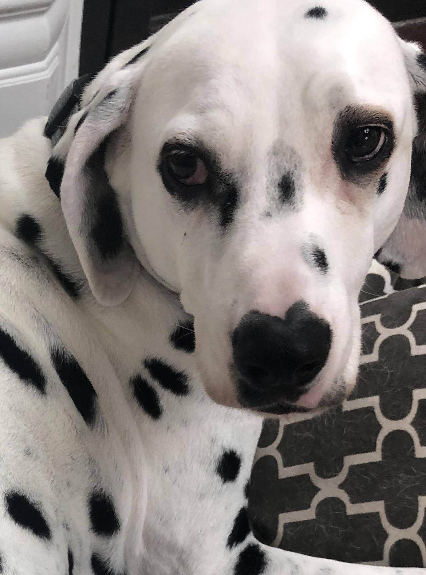 Osteoarthritis in a 10 Year Old Dalmatian