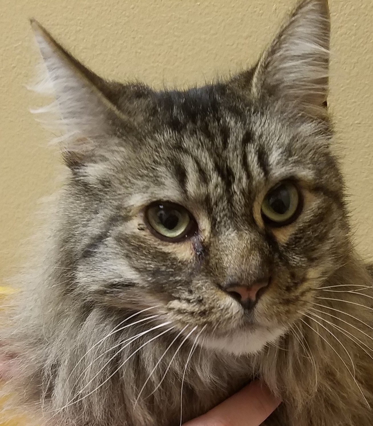 Hip Dysplasia and DJD in a 10 Year Old Maine Coon