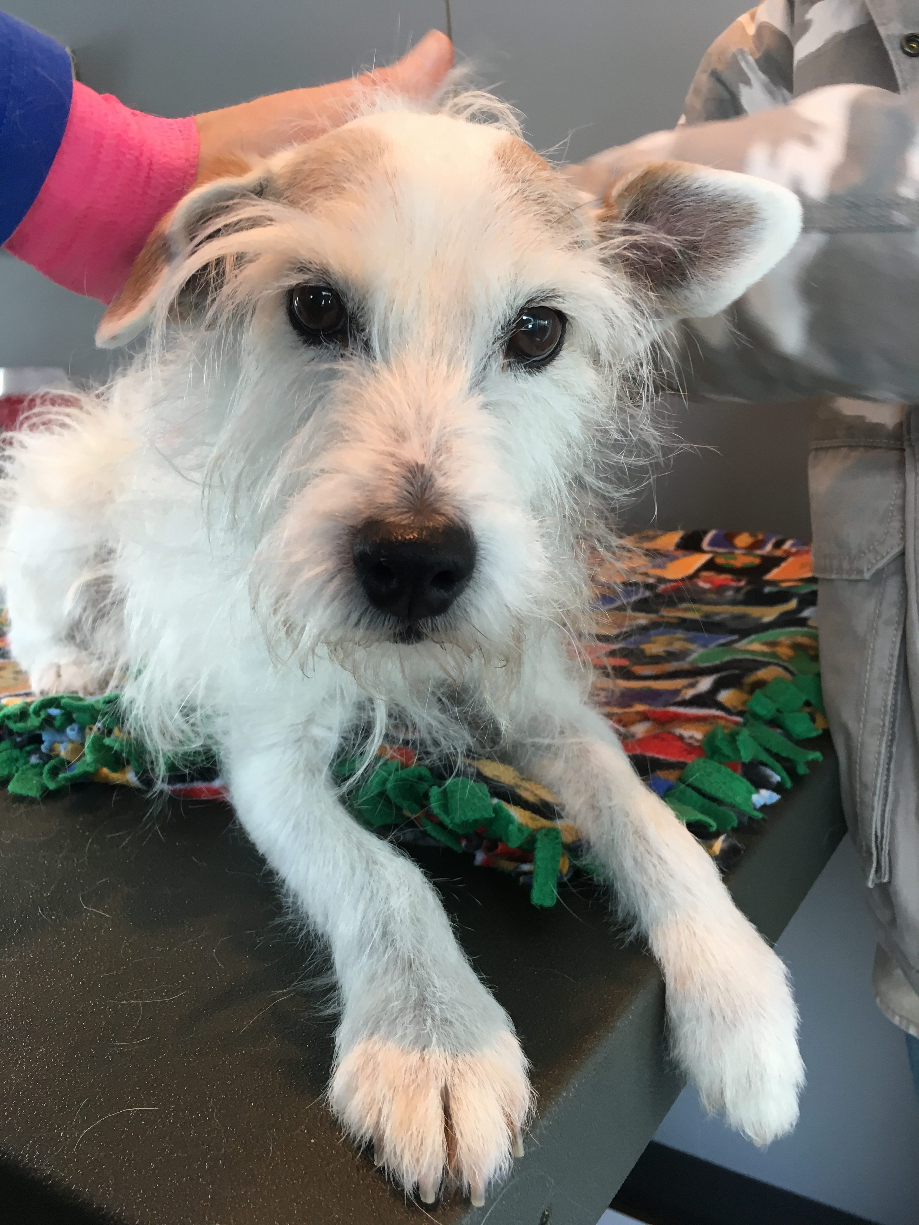 Urinary Incontinence and Arthritis in a 13 Year Old Jack Russell Terrier
