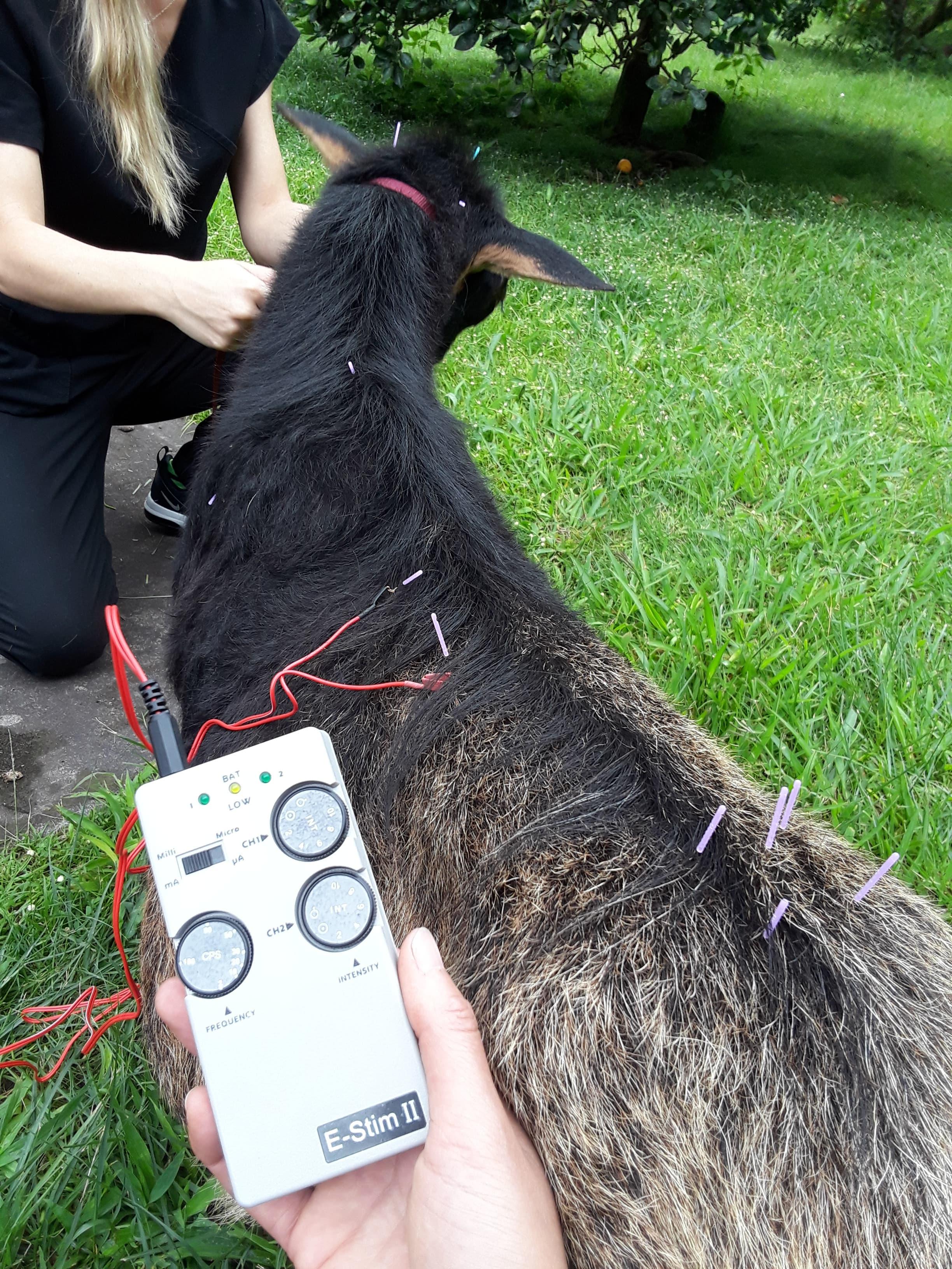 Osteoarthritis in a 14 Year Old Nigerian Mix Goat