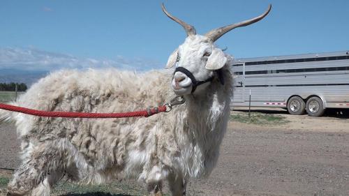 Goat 30