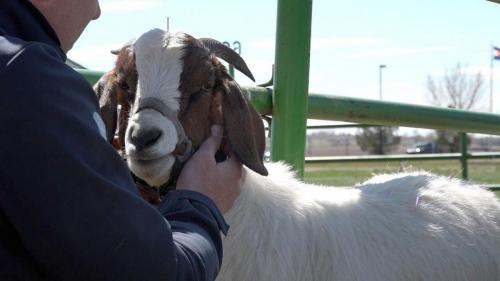 Goat 75