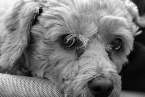 IVDD in a 9 Year Old Cockapoo