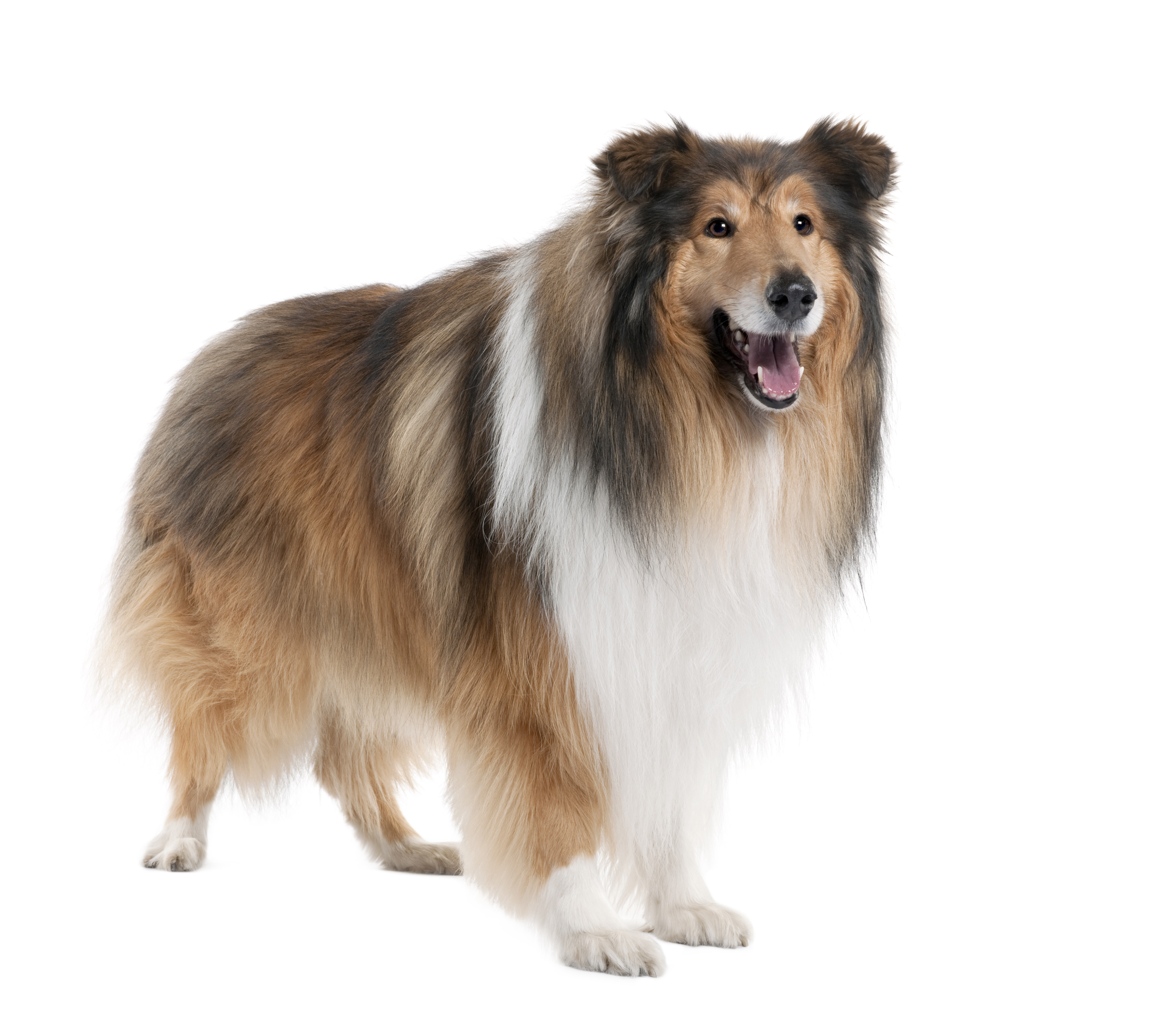 Osteoarthritis in a 12 Year Old Collie