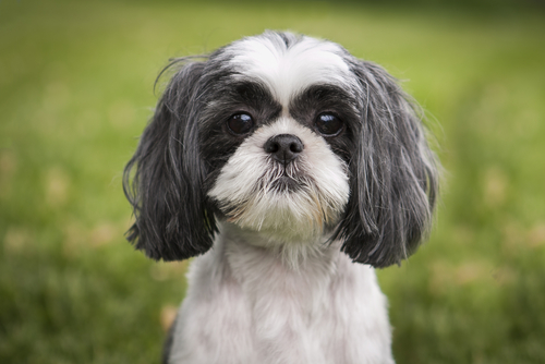 Acute Paresis in an Eight Year Old Shih-Tzu