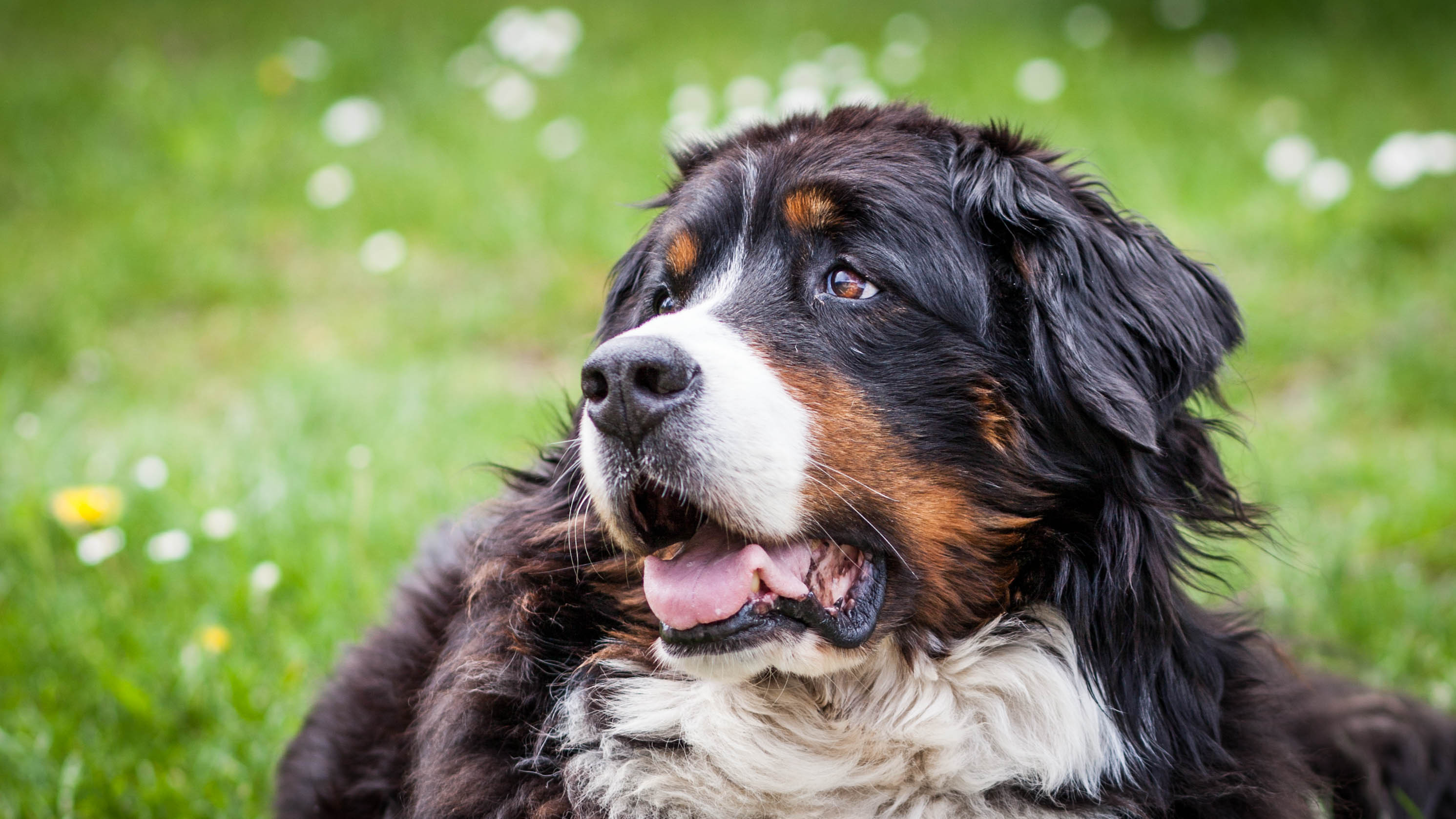 Hip  and Elbow Dysplasia/Osteoarthritis in a 9 Year Old Bernese Mountain Dog