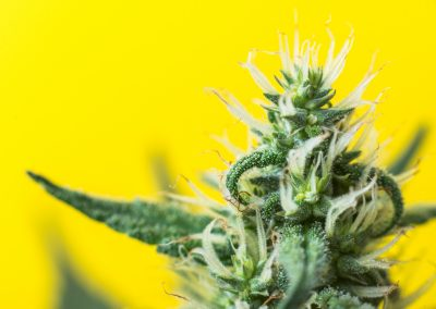 Cannabis for Veterinary Professionals
