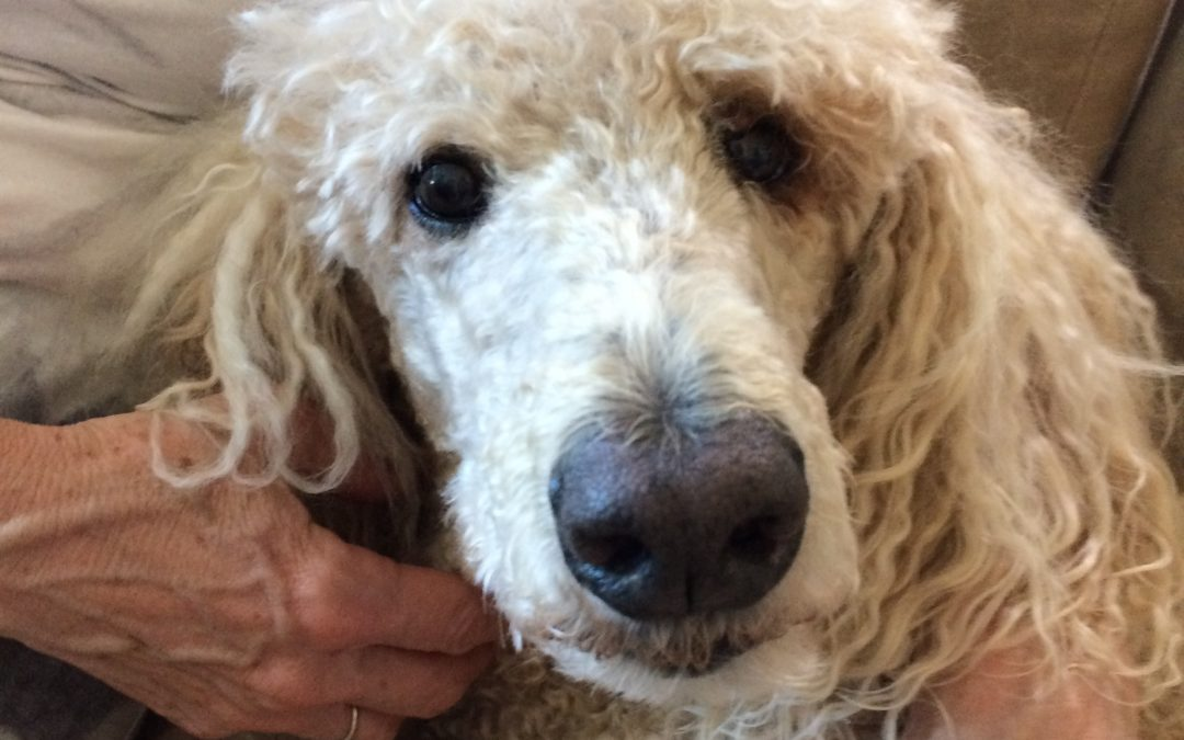 DJD in a 10 year Old Standard Poodle